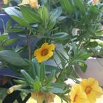 Calibrachoa hybrida 'CALITA Yellow Red Morn' -
