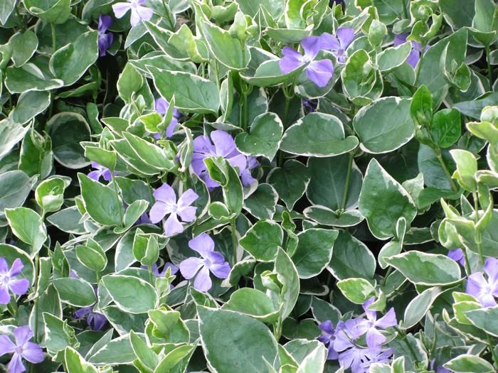 Vinca major 39 variegata 39 acheter acheter des plantes en for Plantes en ligne
