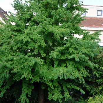 cercidiphyllum japonicum japanischer kuchenbaum strauch pflanzen kaufen online. Black Bedroom Furniture Sets. Home Design Ideas