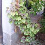 Schizophragma hydrangeoides var. concolor 'Moonlight' -