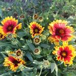 Gaillardia aristata 'Arizona Sun' -