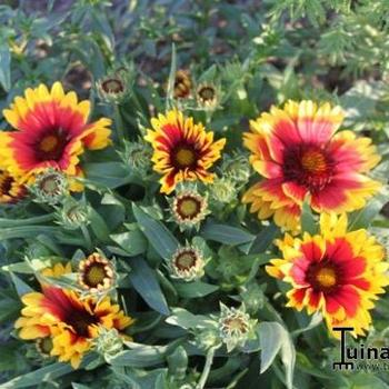 gaillardia aristata 39 arizona sun 39 plantes vivaces. Black Bedroom Furniture Sets. Home Design Ideas