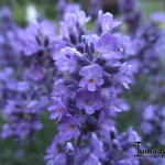 Lavandula angustifolia 'Essence Purple' -