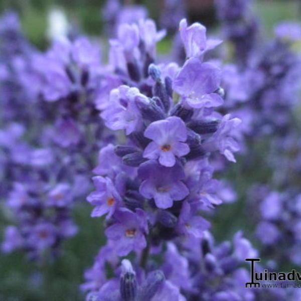 lavandula angustifolia 39 essence purple 39 plantes vivaces. Black Bedroom Furniture Sets. Home Design Ideas