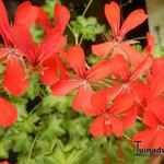Pelargonium Villetta 'Orange' -