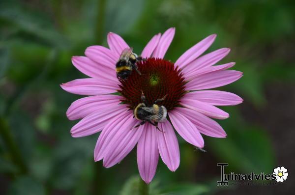 purpur sonnenhut echinacea purpurea pflanzen kaufen online. Black Bedroom Furniture Sets. Home Design Ideas
