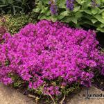 Thymus praecox 'Red Carpet' -