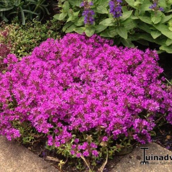 thymus praecox 39 red carpet 39 plantes vivaces acheter. Black Bedroom Furniture Sets. Home Design Ideas