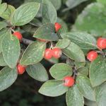 Cotoneaster franchetii - Cotonéaster de Franchet - Cotoneaster franchetii