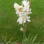 Polianthes tuberosa 'The Pearl' -