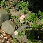 Potentilla fruticosa 'Pink Beauty'  -