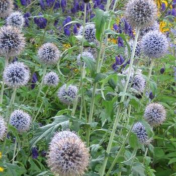 echinops bannaticus 39 taplow blue 39 plantes vivaces acheter des plantes en ligne. Black Bedroom Furniture Sets. Home Design Ideas