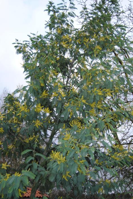 Silber Akazie Acacia Dealbata