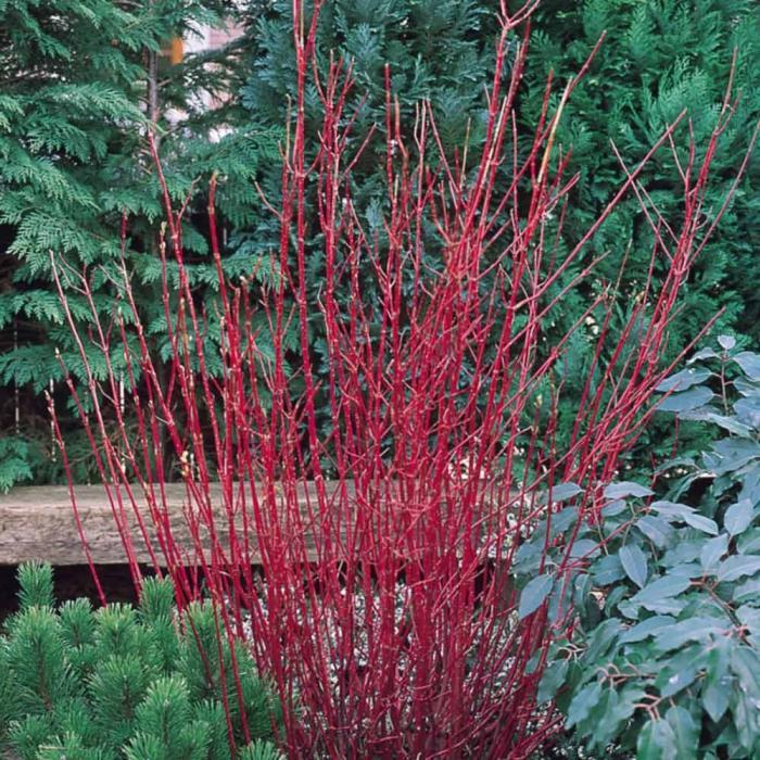 Cornus alba 39 sibirica 39 acheter acheter des plantes en for Acheter des plantes en ligne