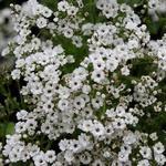 Rispiges Gipskraut - Gypsophila paniculata