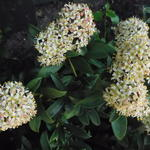 Skimmia japonica 'Fragrant Cloud' -