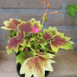 Pelargonium 'Lotusland' (Stellar type) -