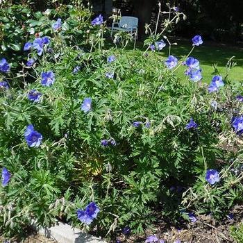 geranium 39 eureka blue 39 plantes vivaces acheter des. Black Bedroom Furniture Sets. Home Design Ideas