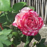 Rosa 'Best Impression' - Rosa 'Best Impression'