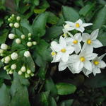 Lycianthes rantonnetii 'White Charles' -
