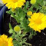 Gaillardia x  grandiflora 'MESA Yellow' - Gaillardia x grandiflora 'MESA Yellow' - Gaillardia x  grandiflora 'MESA Yellow'