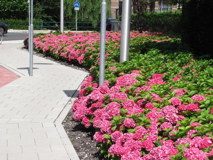 hydrangea macrophylla 39 king george v 39 buissons acheter des plantes en ligne. Black Bedroom Furniture Sets. Home Design Ideas
