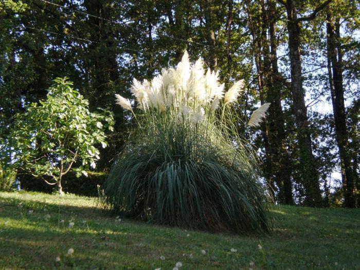 Cortaderia selloana acheter herbe de la pampa acheter des plantes en ligne acheter en - Herbe de la pampa prix ...