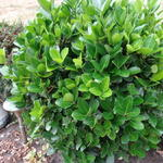 Euonymus japonicus 'Microphyllus' -