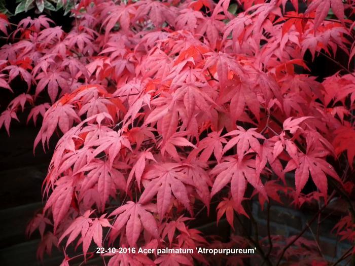acer palmatum 39 atropurpureum 39 kaufen pflanzen kaufen. Black Bedroom Furniture Sets. Home Design Ideas