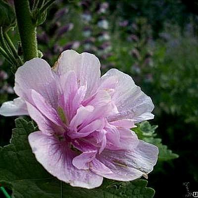 x alcalthaea suffrutescens 39 parkrondell 39 acheter des plantes en ligne. Black Bedroom Furniture Sets. Home Design Ideas