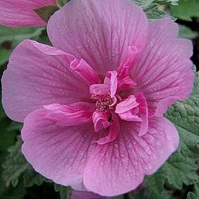 X alcalthaea suffrutescens 39 parkrondell 39 acheter acheter for Acheter des plantes sur internet