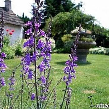 linaria purpurea plantes vivaces acheter des plantes en ligne. Black Bedroom Furniture Sets. Home Design Ideas