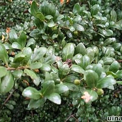 ilex crenata 39 convexa 39 heckenpflanzen pflanzen kaufen online. Black Bedroom Furniture Sets. Home Design Ideas