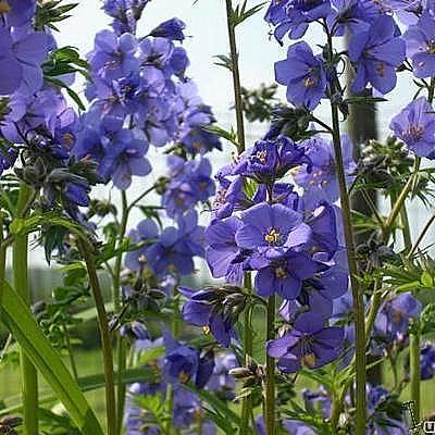 polemonium caeruleum pol moine bleue plantes vivaces acheter des plantes en ligne. Black Bedroom Furniture Sets. Home Design Ideas