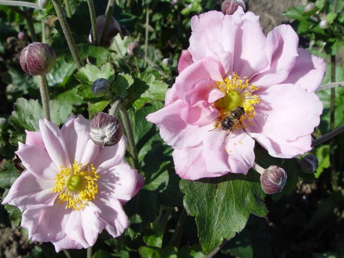 Anemone hybrida k nigin charlotte acheter acheter des for Acheter des plantes sur internet