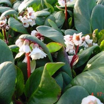 bergenia 39 silberlicht 39 plantes vivaces acheter des plantes en ligne. Black Bedroom Furniture Sets. Home Design Ideas