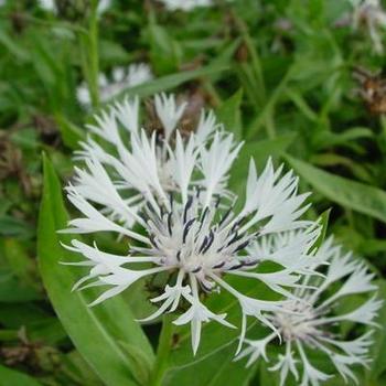 centaurea montana 39 alba 39 plantes vivaces acheter des plantes en ligne. Black Bedroom Furniture Sets. Home Design Ideas