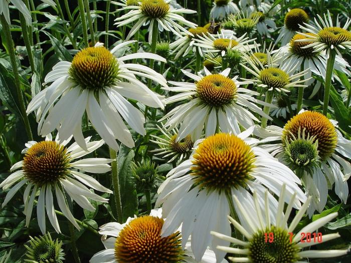 echinacea purpurea 39 white swan 39 kaufen pflanzen kaufen online. Black Bedroom Furniture Sets. Home Design Ideas