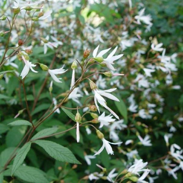 Gillenia Trifoliata Nördliche Dreiblattspiere Stauden Pflanzen