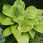 Hosta 'Sum and Substance' -