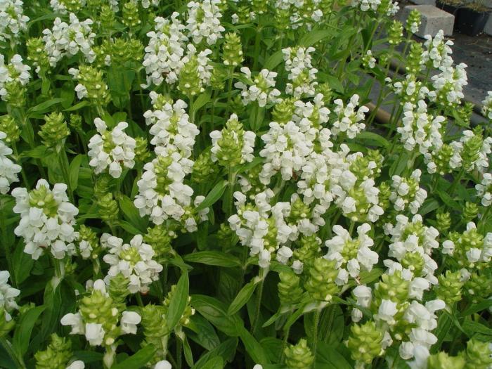 prunella grandiflora 39 alba 39 plantes vivaces acheter. Black Bedroom Furniture Sets. Home Design Ideas