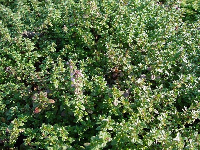 Thymus Serpyllum Acheter Serpolet Acheter Des Plantes
