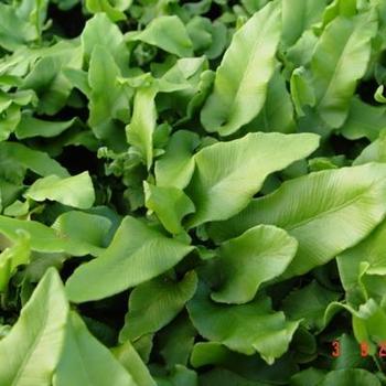 asplenium scolopendrium acheter scolopendre foug re acheter des plantes en ligne. Black Bedroom Furniture Sets. Home Design Ideas