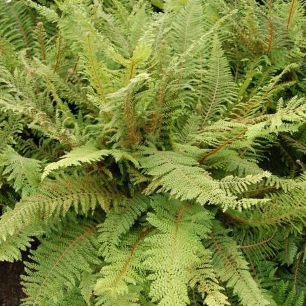 polystichum setiferum 39 plumoso densum 39 plantes vivaces. Black Bedroom Furniture Sets. Home Design Ideas