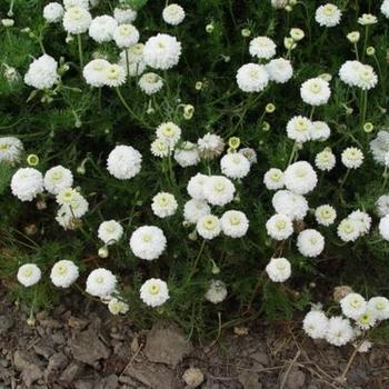 chamaemelum nobile 39 ligulosum 39 plantes vivaces acheter. Black Bedroom Furniture Sets. Home Design Ideas