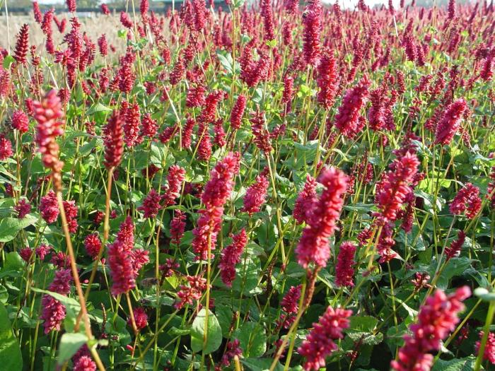 persicaria amplexicaulis 39 lisan 39 kaufen pflanzen kaufen. Black Bedroom Furniture Sets. Home Design Ideas