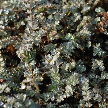 acaena saccaticupula stauden pflanzen kaufen online. Black Bedroom Furniture Sets. Home Design Ideas