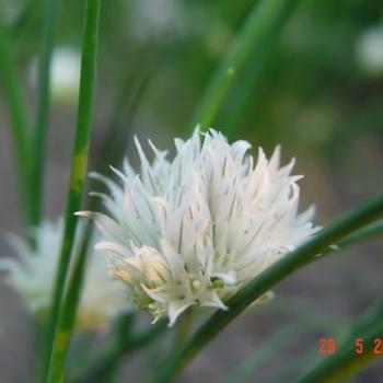 allium schoenoprasum 39 album 39 plantes vivaces acheter des plantes en ligne. Black Bedroom Furniture Sets. Home Design Ideas