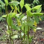 Disporum flavens - Disporum uniflorum
