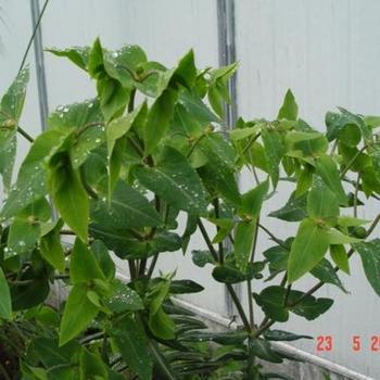 euphorbia lathyris purge plantes vivaces acheter des plantes en ligne. Black Bedroom Furniture Sets. Home Design Ideas